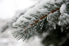 ckuchem-1690 (christine_kuchem) Tags: blaufichte eis fichte fichtennadeln frost macro nadeln nahaufnahme natur naturgarten tropfen winter dedeckt naturnah natrlich schnee