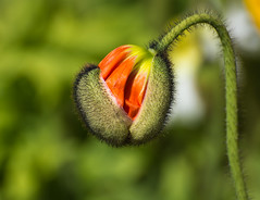 New Beginning (Kiwi-Steve) Tags: nz newzealand poppy bud opening flower nature nikon nikond7200 macro red plant flora