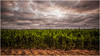 A good harvest (Chas56) Tags: crop crops harvest farm farming rural plants flora field fields growing victoria australia canon canon5dmkiii leaves foliage earth soil sky clouds drama dramaticsky storm weather plant landscape outdoor fertile daysmill country colour color ngc texture