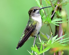 DSC_5831=1Hummer (laurie.mccarty) Tags: wildlife birds bird greenbackground hummingbird rubythroatedhummngbird lauriemccartyphotos