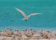 It has been a long time. I am so glad to be coming home soon. #bird #fly #sandbank #maldives #visit #great #localisland (arys009) Tags: bird fly sandbank maldives visit great localisland