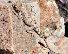 You 'aint seen Me.... (pstone646) Tags: nature animal reptile lizzard wildlife fauna camouflaged basking africa namibia rock