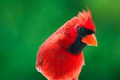 Northern Cardinal. (Mary Vasquez Photography) Tags: red bird cardinal florida brigh wildlife nature