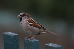 Sparrow (Chris*Bolton) Tags: sparrow sparrows bird birds avian nature wildlife fence perch perched perching rathdrum wicklow ireland