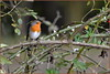 Rougegorge familier ( Erithacus rubecula ) (norbert lefevre) Tags: plumage ronce familier rougegorge
