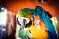 (Harv P.) Tags: yellow blue green parrot bird lumixgx7 lumix panasonic 20mm 20mm17 bokeh m43