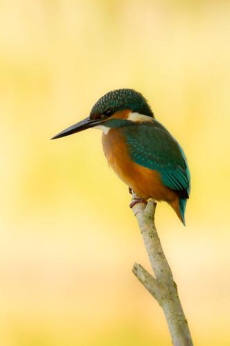 Alcedo atthis, Kingfisher, Ijsvogel