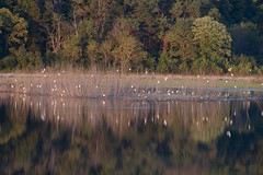 A Beautiful Sight (Plummerhill) Tags: egrets greategrets indiana roost evening fall