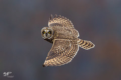 Autumn Leaf Background (Short-Eared Owl) (The Owl Man) Tags: