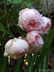 Lost Roses (SecretGarden - Klunkerfrosch) Tags: lost rose secretgarden