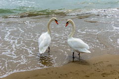 Swans at the sea (kos Fekete) Tags: swans animal sea wave water september nature naturescomposition nice beautiful beautifulcapture mbpictures great italy neck 2016 fall autumn vacation sony sonyalpha6000 alpha ilce6000 emount evil mirrorless alpha6000 selp1650 powerzoom 1650pz milc csc sand outdoor hot afternoon daylight day