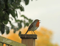 Rockin robin... (~ **Barbara ** ~) Tags: robin robins erithacusrubecula red breast garden uk home autumn cold worms digging canon7dii