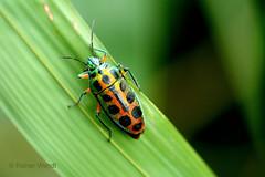 IMG_0635 Calidea sp. (Raiwen) Tags: rainbowshieldbug calidea scutelleridae pentatomoidae heteroptera hemiptera insects bugs africa westafrica guinea moyenneguine