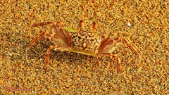 Crab Camouflage (Raj the Tora) Tags: crab crustacean hardshelledcreature shellcreature decapod tenlegs crabonsand sandcrab crabsand sandwithcrab crabcamouflage camouflage camouflaging colors visual visualcamouflage colorcamouflage beach mahabalipuram mamallapuram mahabalipurambeach mamallapurambeach mahabalipuramcrab mamallapuramcrab nature wild wildlife beachlife beachsand shoresand shorecrab