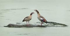 Egyptian Geese (grahamhales445) Tags: geese pool autumn algae bloom