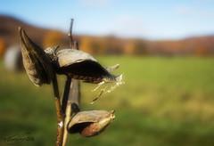 fall milkweed (VooDoo Works) Tags: milkweed nature fall meadow overlay