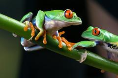 Red-Eyed Tree Frogs, CaptiveLight, Bournemouth, Dorset, UK (rmk2112rmk) Tags: redeyedtreefrogs captivelight bournemouth dorset uk treefrog frog agalychniscallidryas amphibian herps bokeh macro