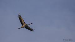 Kranich / crane (Oerliuschi) Tags: crane kraniche vgel mecklenburgvorpommern ostsee zingst