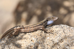West Canaries Lizard  Gallotia galloti palmae (Roger Wasley) Tags: westcanarieslizard lapalmalizard canadianlizard gallotiagallotipalmae lizards reptiles lapalma canaryislands spain spanish europe european