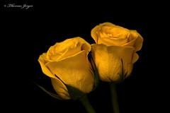 Companions 0518 Copyrighted (Tjerger) Tags: nature black blackbackground bloom closeup flora flower green macro petals plant portrait rose spring stem wisconsin yellow companions