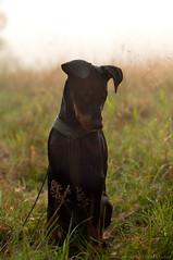 (Niightwalker) Tags: nature woods forest sweden green nikon d90 pinscher dog