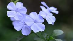 Fiore pastello (Daniele4Gatti) Tags: fiori giardino celeste macro nikkor50 plumbago