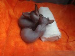 Объятья II (GrusiaKot) Tags: ucraina ukraine україна украина travelling autumn cat bizzar embrache kittens odessa market