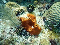 Esponja (diananicolepuerto) Tags: esponja sponge underwaterphotography marinelife colorsofthesea ocea sea sanandres caribe caribbean scubadiving arrecife buceo