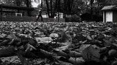 Leaves (Per sterlund) Tags: bnw bw autumn running baw blackandwhite blackwhite monochrome mono 2016 citypark sdermalm svartvitt stockholm sweden sverige schweden suecia sude panasonic gx8 panasonicgx8