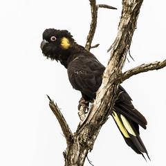 Calyptorhynchus funereus (gecko47) Tags: bird parrot cockatoo yellowtailedblackcockatoo calyptorhynchusfunereus phillipisland rhyllinletwetlands male melaleuca