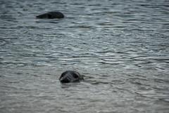 hello (pamelaadam) Tags: thebiggestgroup fotolog digital sea animal seal visions meetup newburgh aberdeenshire scotland forvie june summer 2016