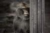 bleak prospects (Sabinche) Tags: animal primate barbarymacaque magot macacasylvanus berberaffe zoo canoneos5dmarkiii sabinche