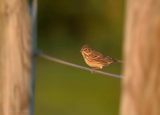 Vesper Sparrow (Explored#4)