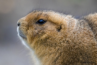 Cynomys ludovicianus / Black-tailed prairie dog / Чернохвостая луговая собачка / Sorthalet præriehund