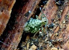Springtail Ptenothrix maculosa ssp. olympia (Bugldy99) Tags: animal outdoors nature springtail hexapod hexapoda arthropod arthropoda collembola symphypleona