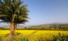 Niger flowers Nr Araku (ashok kolluru) Tags: vizag india