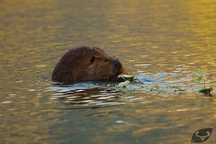 Castor du Canada (anthonypoittevin) Tags: animaux faune canada voyage travel nature animals mammifre mammal castor du canadensis north american beaver
