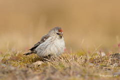 Not that common after all ! (Chantal Jacques Photography) Tags: commonredpoll redpoll artic tundrabird depthoffield bokeh wildandfree wild bird artictundra notsocommonafterall