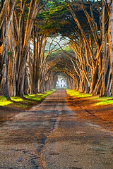 Cypress_Tree_Tunnel (BalajiNagarajan) Tags: canon dslr 7d nature landscape cypresstreetunnel california pointreyes visitcalifornia grass canon24105mmf40 views beauty natural scenic sunny trees tunnel road adventure travel placestosee cloudy trails cattle