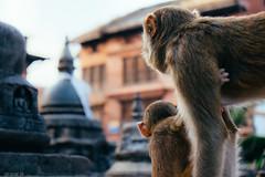 What's that (cody.waldon) Tags: monkey monkeytemple sw swayambhunath scene vsco fuji xt1 explore wanderer adventure travel nepal nature amazing animals outdoor kathmandu energy