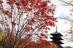 Autumn in Kyoto (Teruhide Tomori) Tags: toji temple kyoto japan autumn pagoda tree kayedemaple architecture building construction 京都 東寺 日本 秋 紅葉 モミジ 五重塔