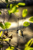 Dancing with the Leaves **Explored** (flashfix) Tags: november282016 2016 2016inphotos nikond7000 nikon ottawa ontario canada 55mm300mm chickadee blackcappedchickadee bird birdphotography bokeh nature mothernature animal tree leaves