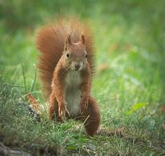 Red squirrel (hedera.baltica) Tags: squirrel redsquirrel eurasianredsquirrel wiewirka wiewirkapospolita sciurusvulgaris