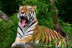 Siberian Tiger yawns (3FPS, 18 frames) @ Zoo Munster 2015 (By Peter Hollander, thanks for + 200.000 views) Tags: tongue tiger yawn predator siberiantiger tc14e d7200 zoomunster nikon70200f4vr