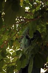 Im Blattwerk (Rdiger Stehn) Tags: statue germany deutschland europa kunst skulptur bste bauwerk bltter baum kiel schleswigholstein denkmal plastik norddeutschland mitteleuropa 2015 2000er canoneos550d eduardlrssen profankunst muhliusbste muhlius friedrichgabrielmuhlius