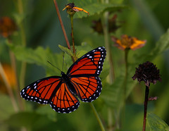 Viceroy Butterfly (ashockenberry) Tags: