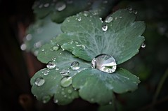 Frauenmantel (Uli He - Fotofee) Tags: nikon rosen makro rosenblatt garten uli ulrike regen wein frauenmantel sommerregen ringelblume hergert prachtwinde nachdemregen nikond90 gartenparadies fotofee amtagalsderregenkam ulrikehe ulrikehergert ulihe