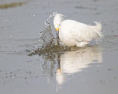 Got it! (dcstep) Tags: urban usa bird nature pond colorado urbannature dxo egret allrightsreserved snowyegret cherrycreekstatepark canon7dmkii ef500mmf4lisii ef14xtciii copyright2015davidcstephens y6a0237dxosrgb dxoopticspro104