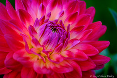 Dahlia (Colleen Easley) Tags: dahlia flower washington capitol olympia