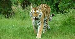 Amur Tiger (Annette Rumbelow) Tags: park tiger safari wilson endangered siberian wiltshire captive siberiantiger annette bigcats carnivore amur rumbelow httpwwwlongleatcouk
